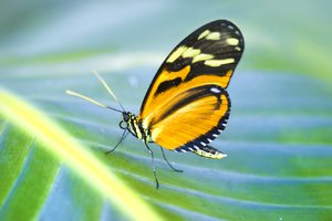Orange Schmetterling
